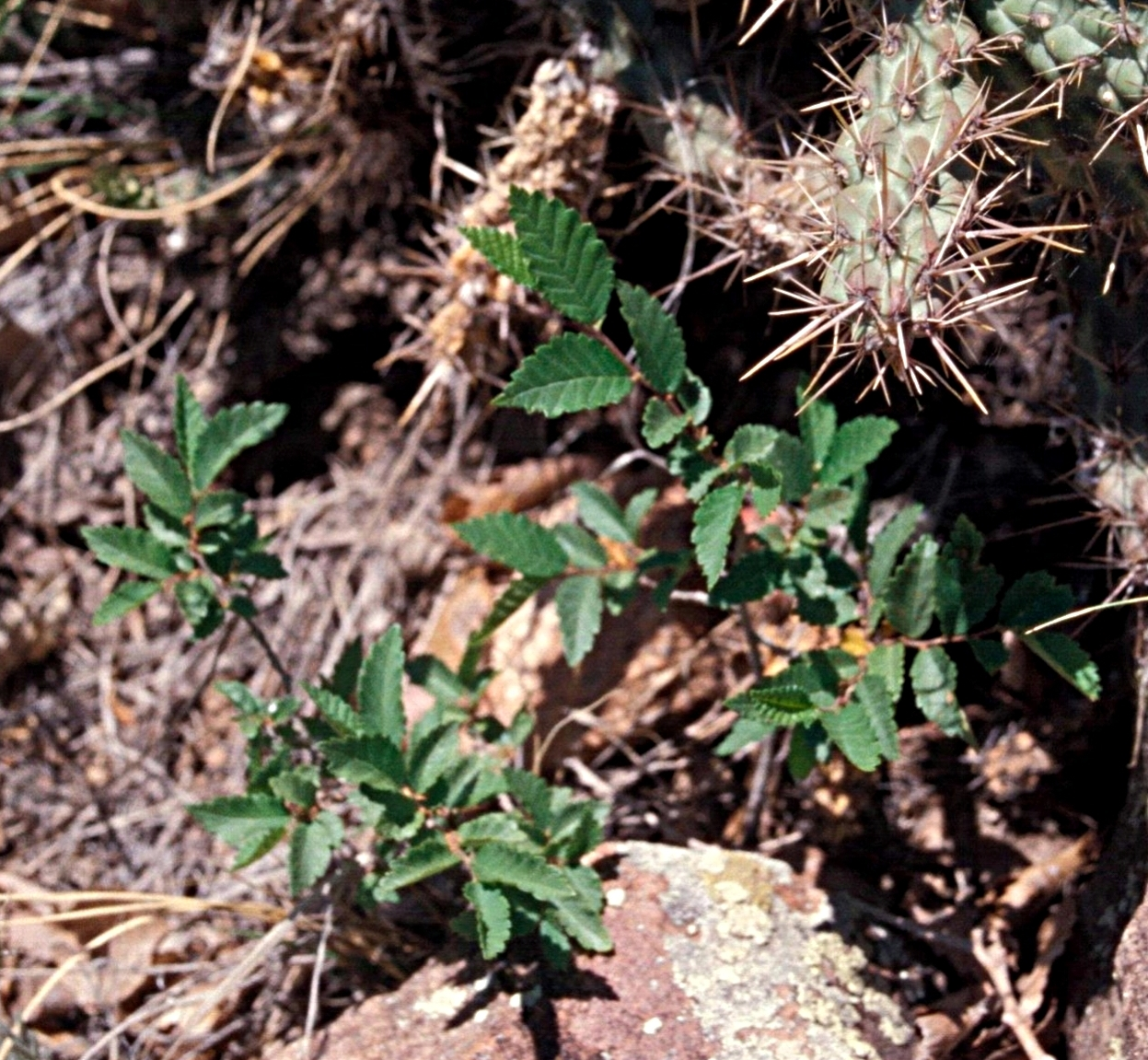 Siberian elm seedlings