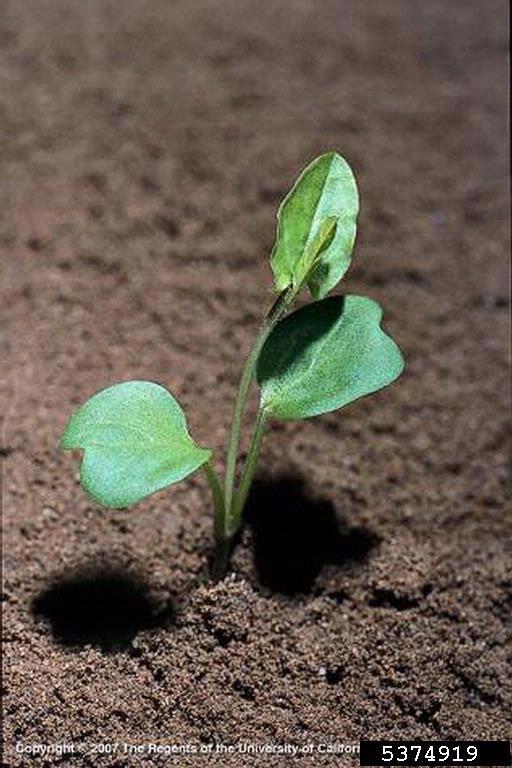 Field bindweed seedling