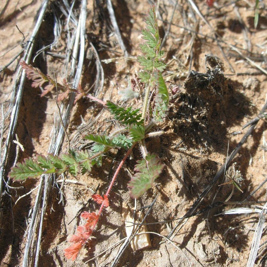 Filaree seedling
