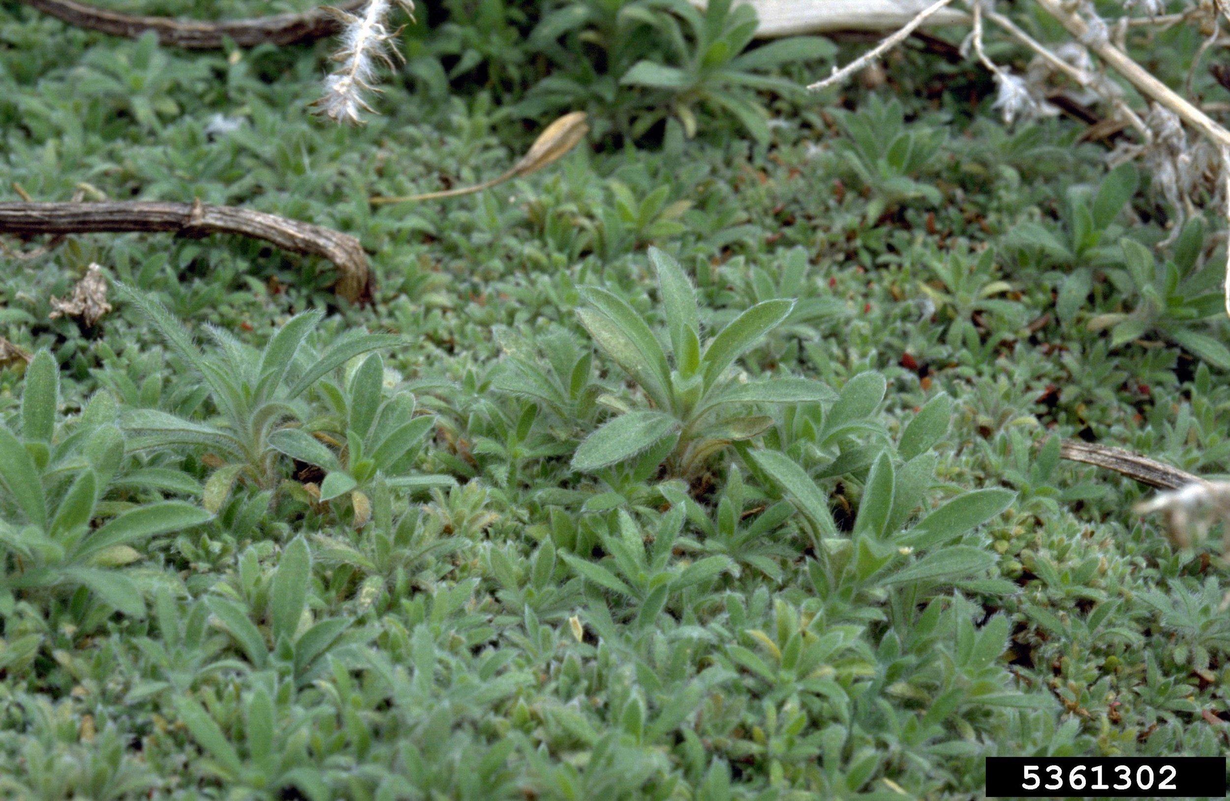 Kochia mat of seedlings