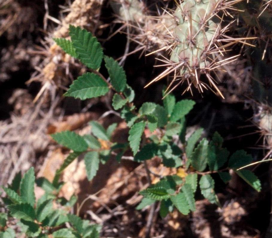 Siberian elm seedling