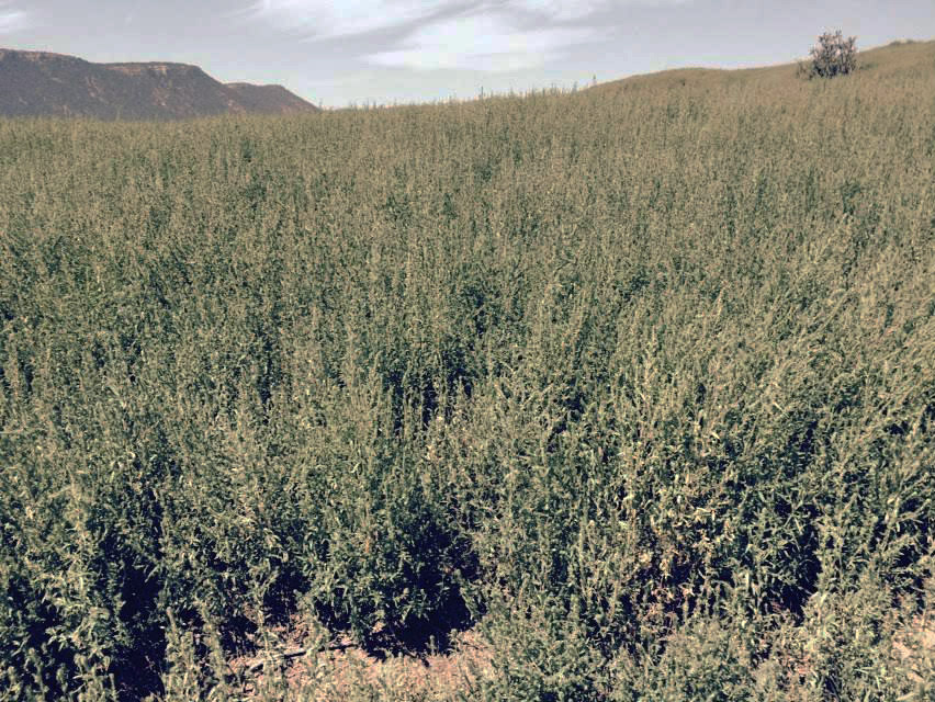 Kochia infestation