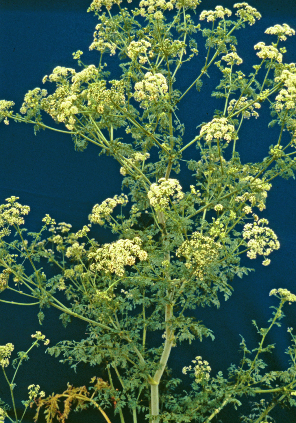 Poison hemlock in flower