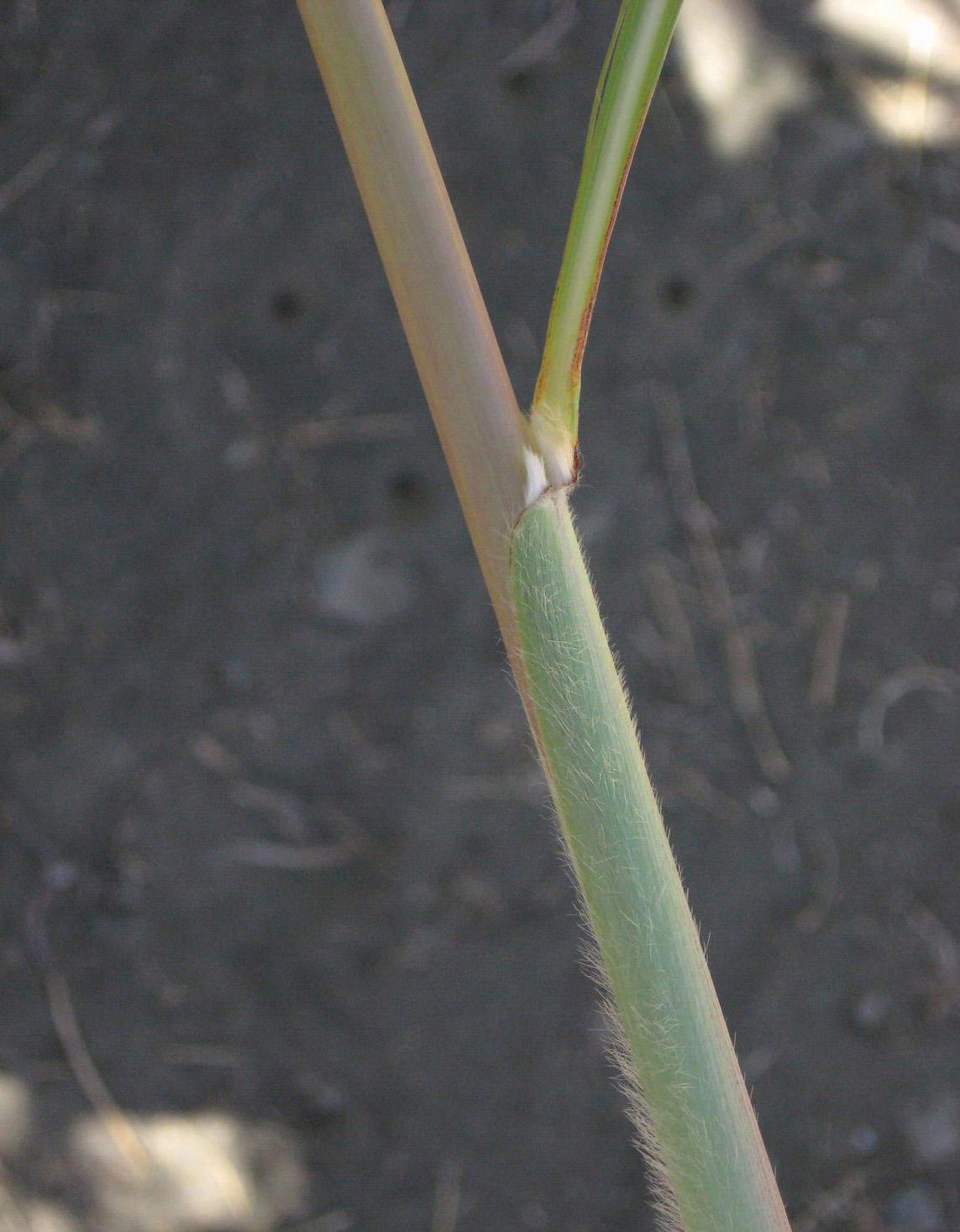 Ravenna grass stem