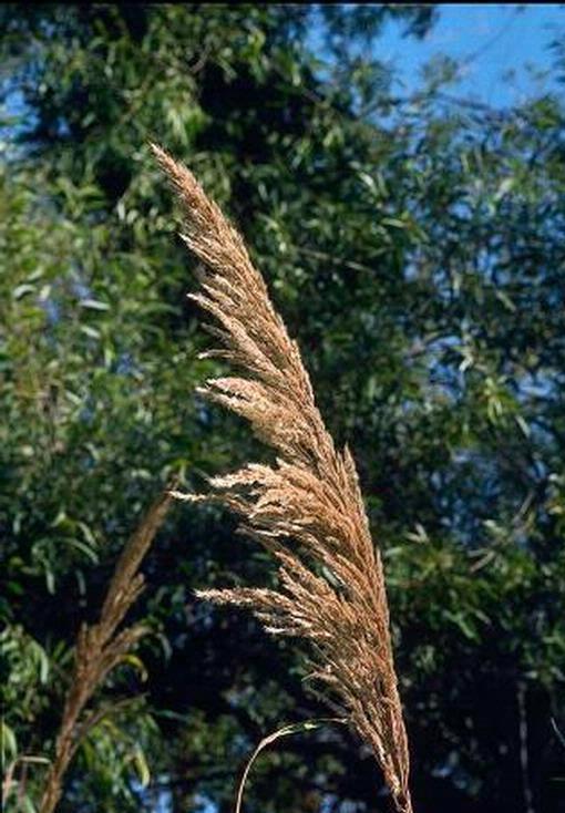 Ravenna grass flower