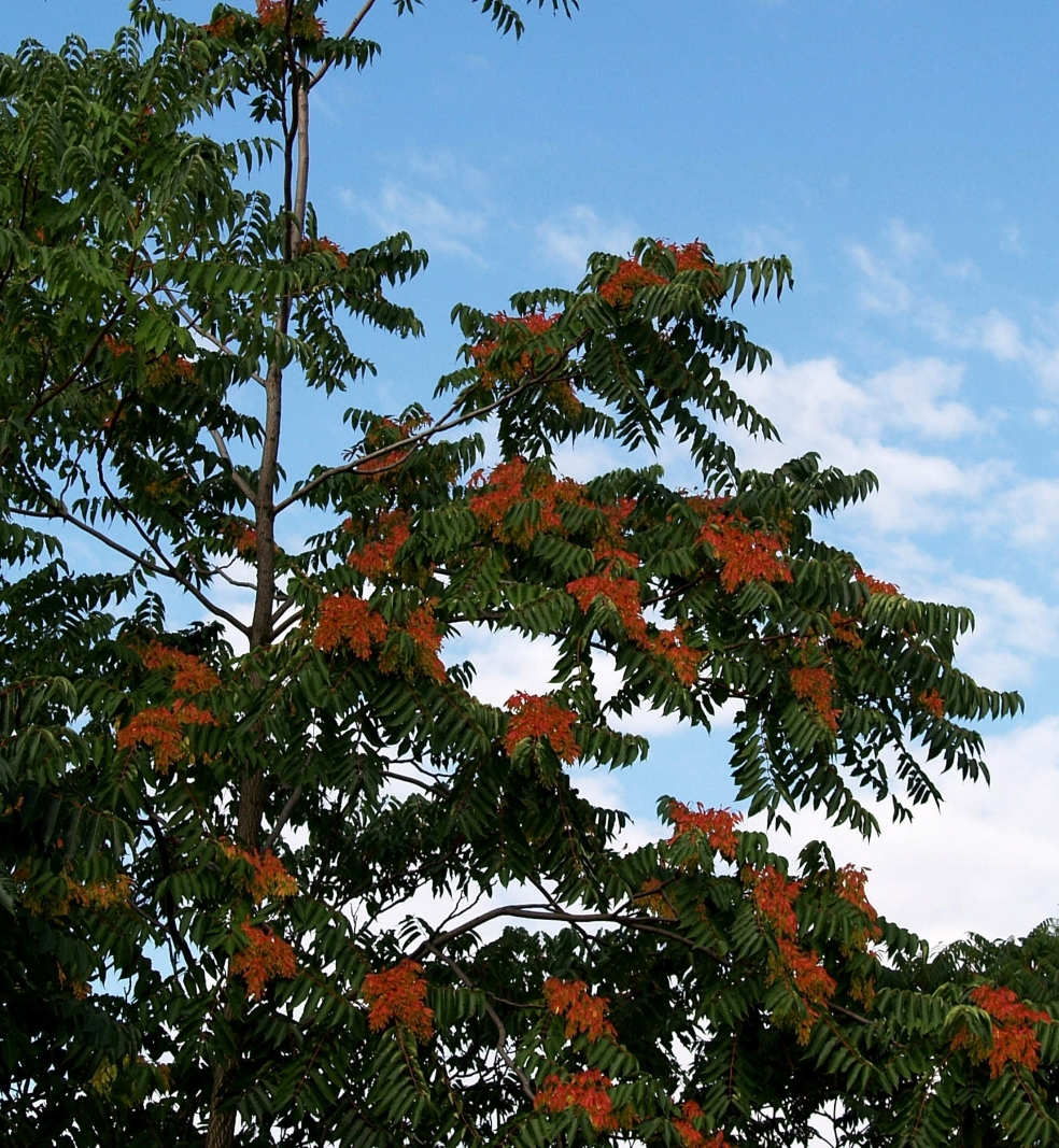 Tree-of-Heaven