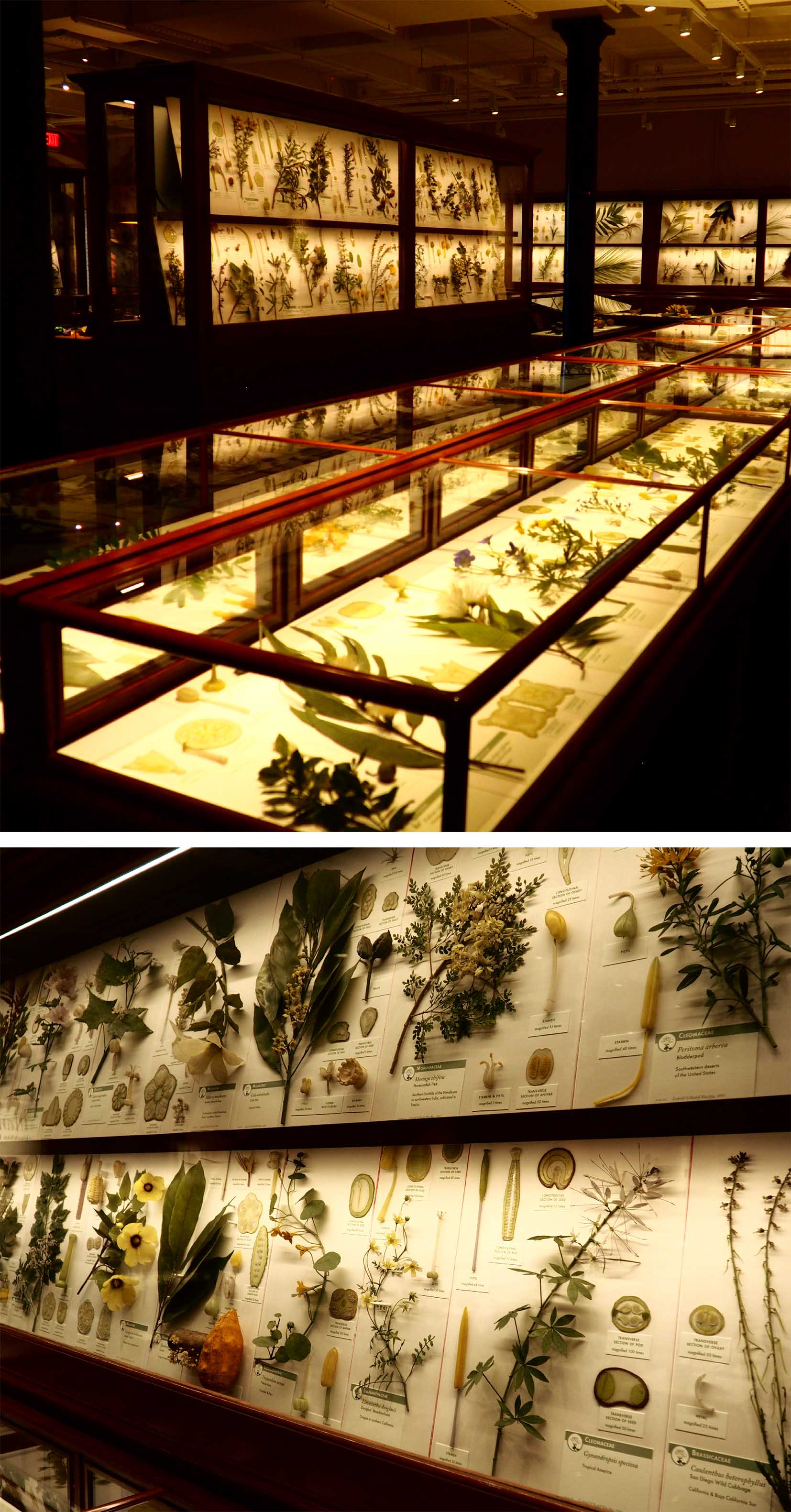 Glass Flowers at Harvard's Natural History Museum