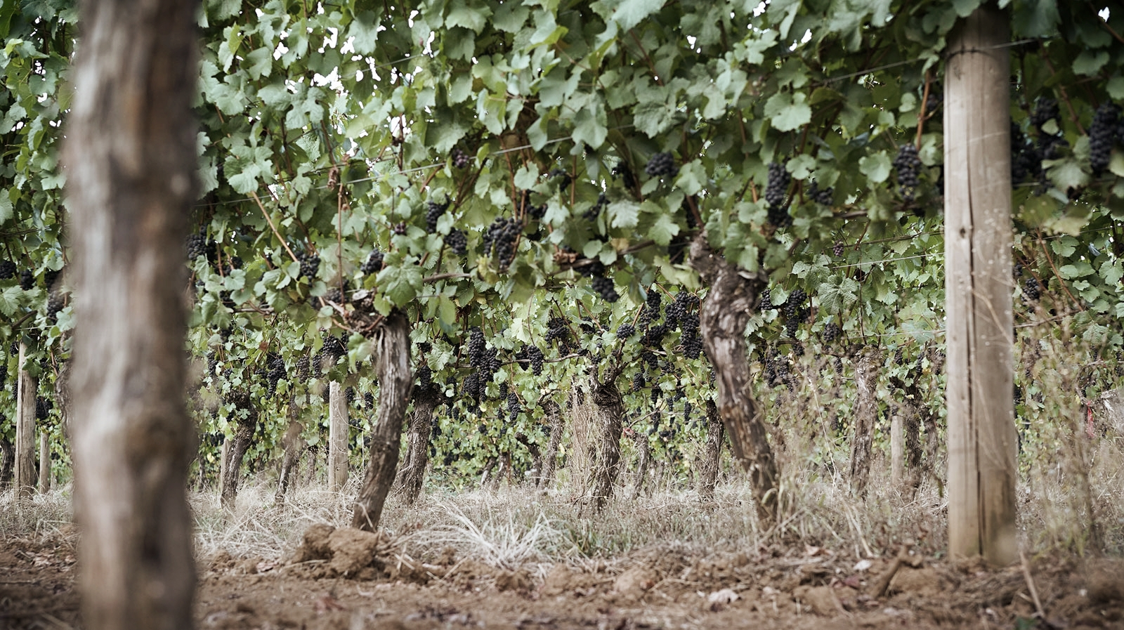 Pinot noir fruit hanging from the old vines at Hyland Vineyard, Willamette Valley, Oregon