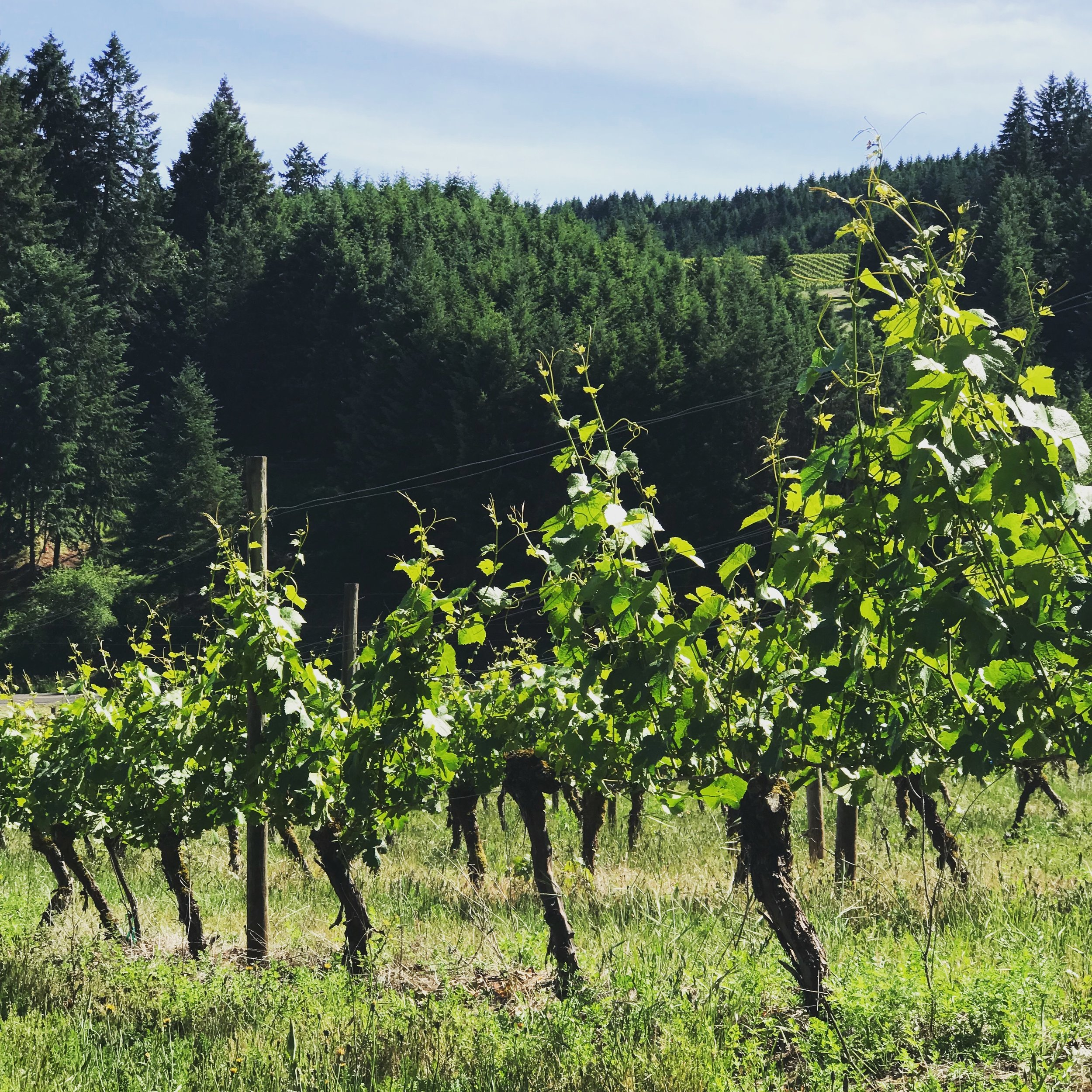 Murto Vineyard - Dundee Hills AVA, Oregon.