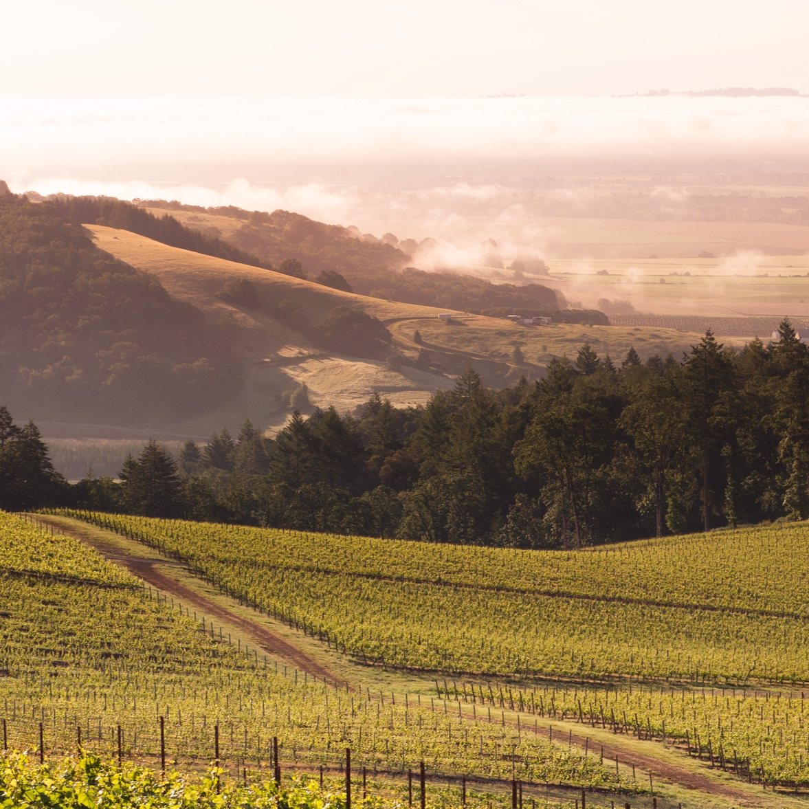 Hyland Vineyard - McMinnville AVA, Oregon.