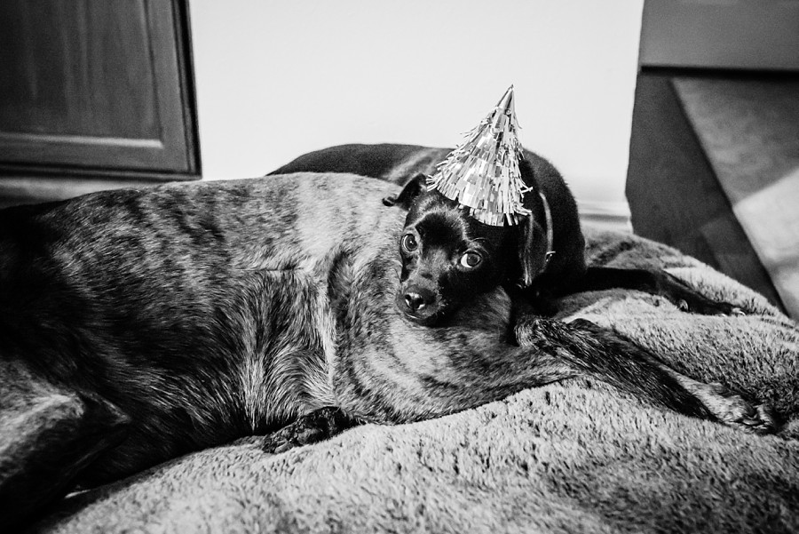 A black chihuahua terrier relaxes with his birthday hat on the back of his big sister, a plotthound, in Denver, Colorado.