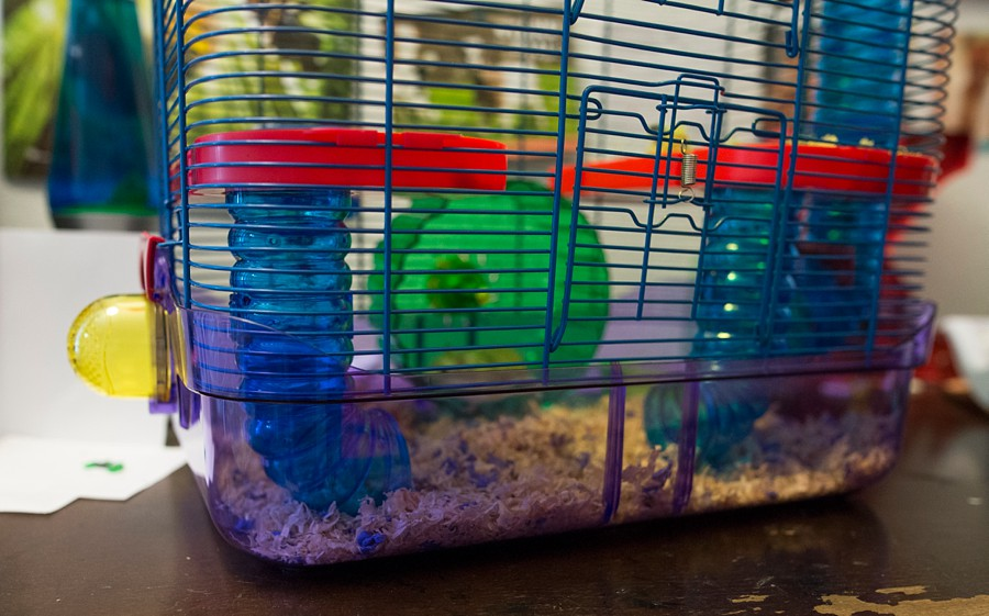 A tiny robo hamster runs on her hamster wheel in greenwood village, colorado.