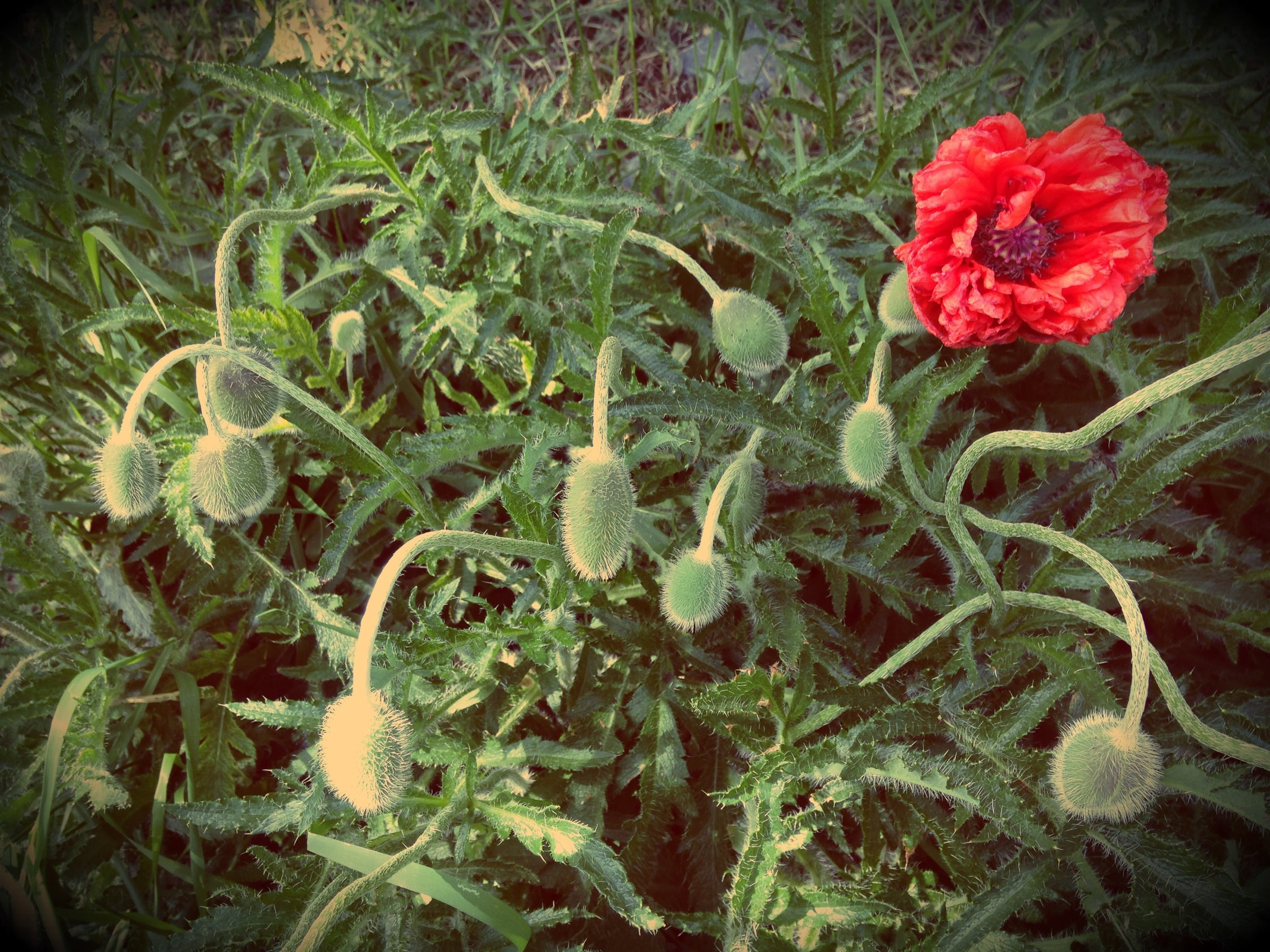 Early Summer Poppy Explosion