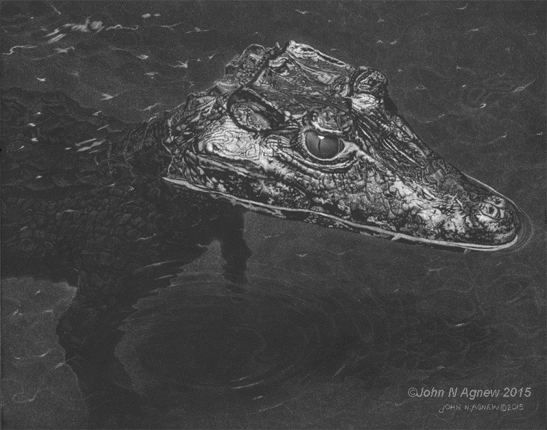 Smooth-Fronted Caiman_72.jpg