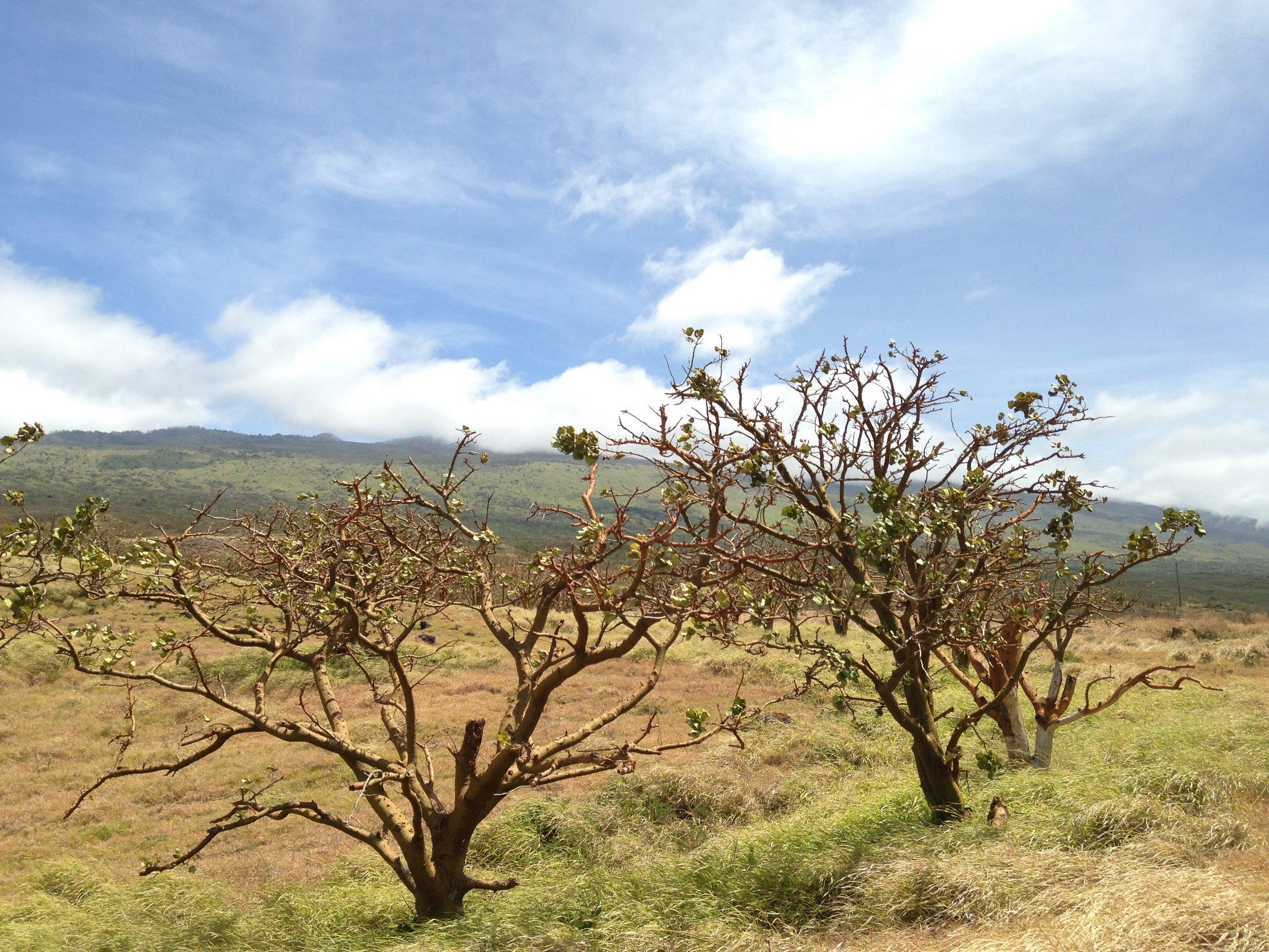 Wiliwili trees at 'Auwahi. Courtesy of Ku'ulei Kuala'au.