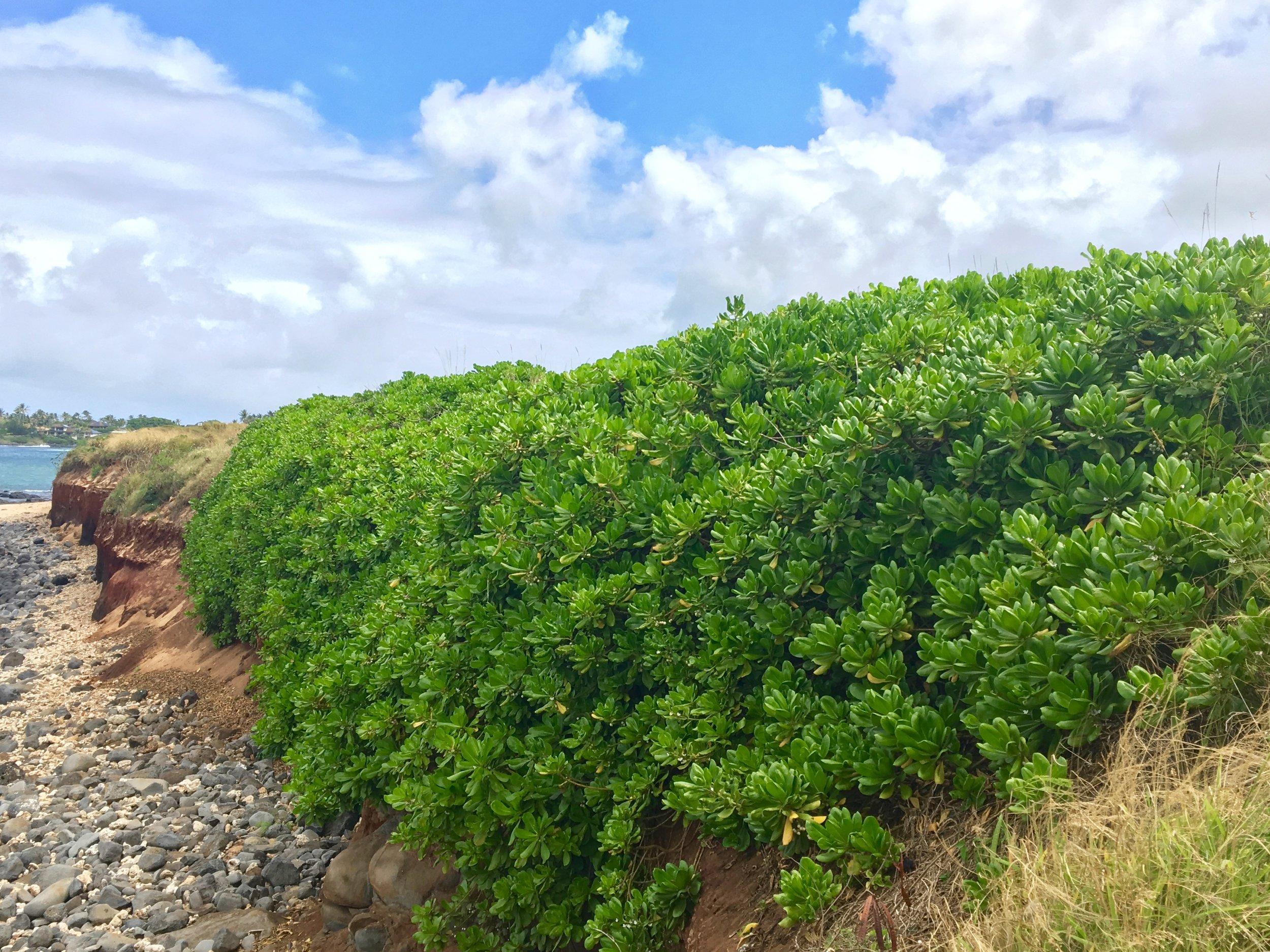 Naupaka preventing erosion of the shoreline