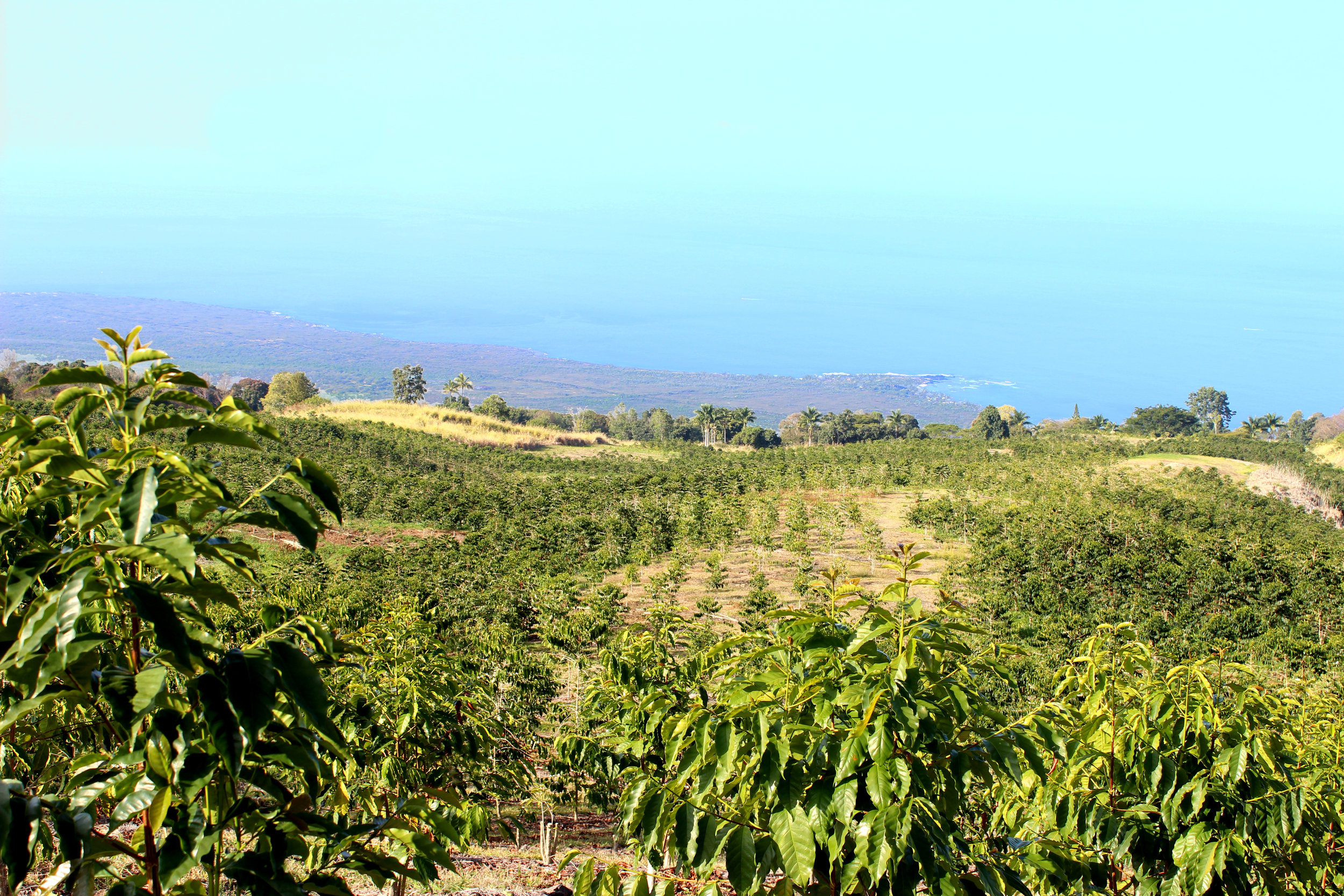 Honolulu Coffee Company farm in Kealakekua, Hawaii