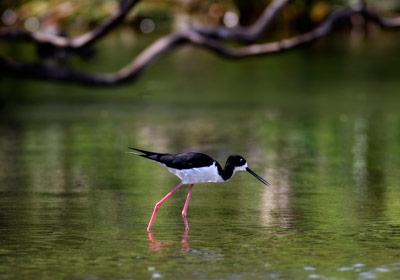 marsh-bird-hawaiian-stilt-nuu-hawaii-coastal-land-trust-maui.jpg