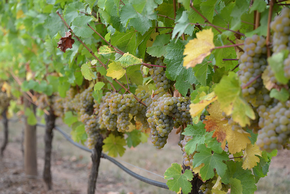 Vineyard-Thumb-4.jpg