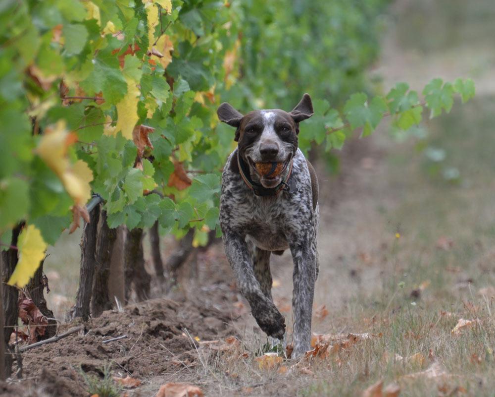 Dog-Vineyard-2.jpg