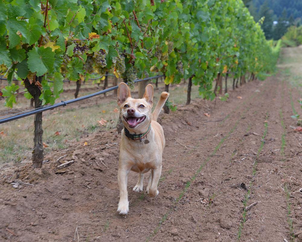 Dog-Vineyard-1.jpg