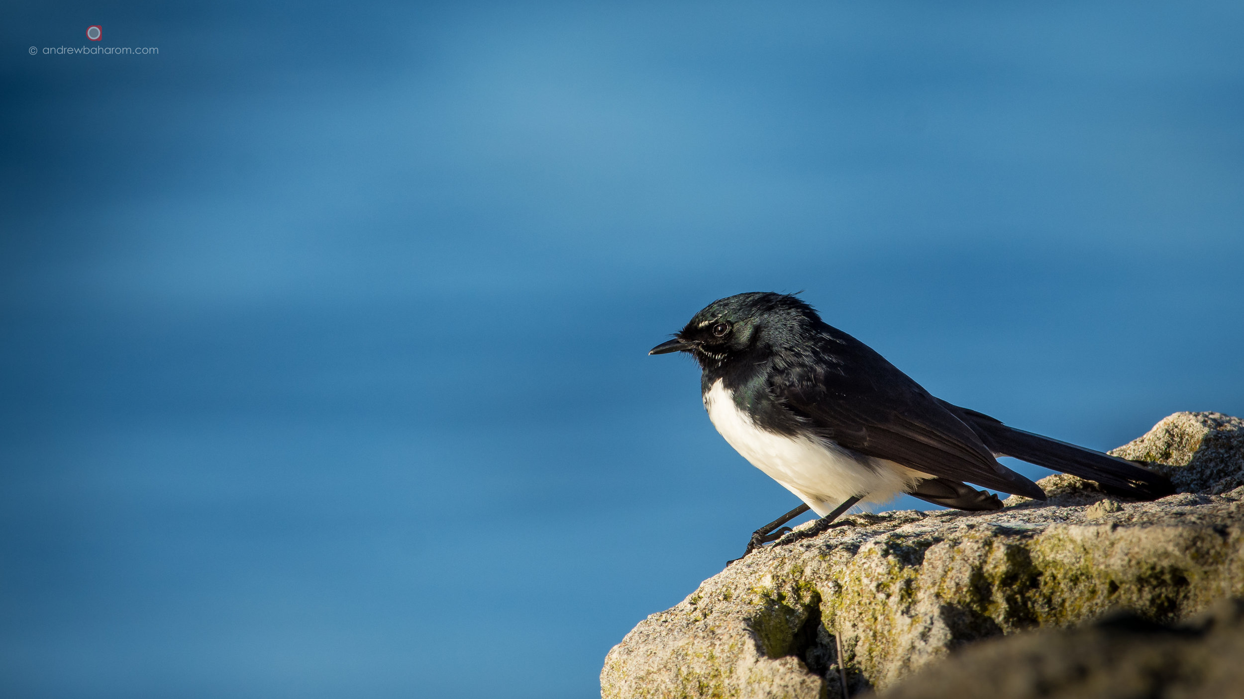 Willy Wagtail 2.jpg
