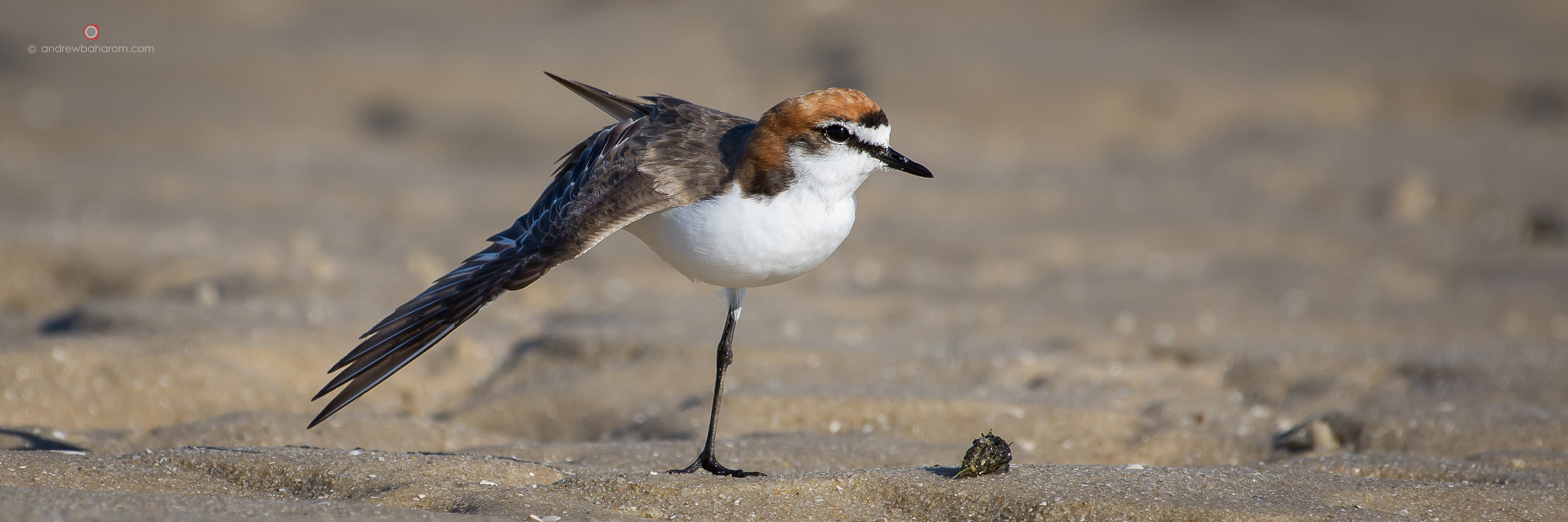 Female Red Capped Plover having a stretch