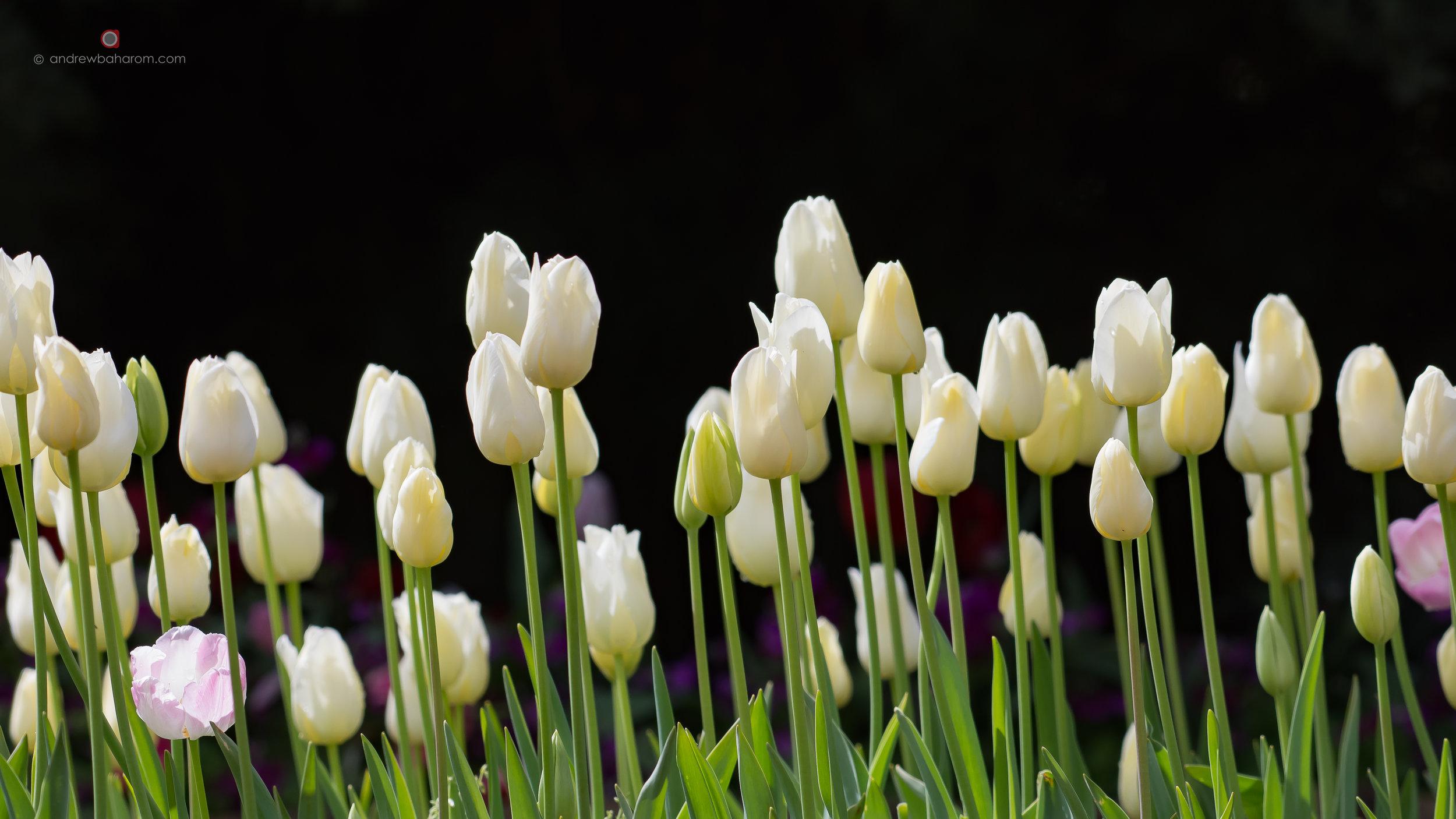 AB Araluen Tulips.jpg