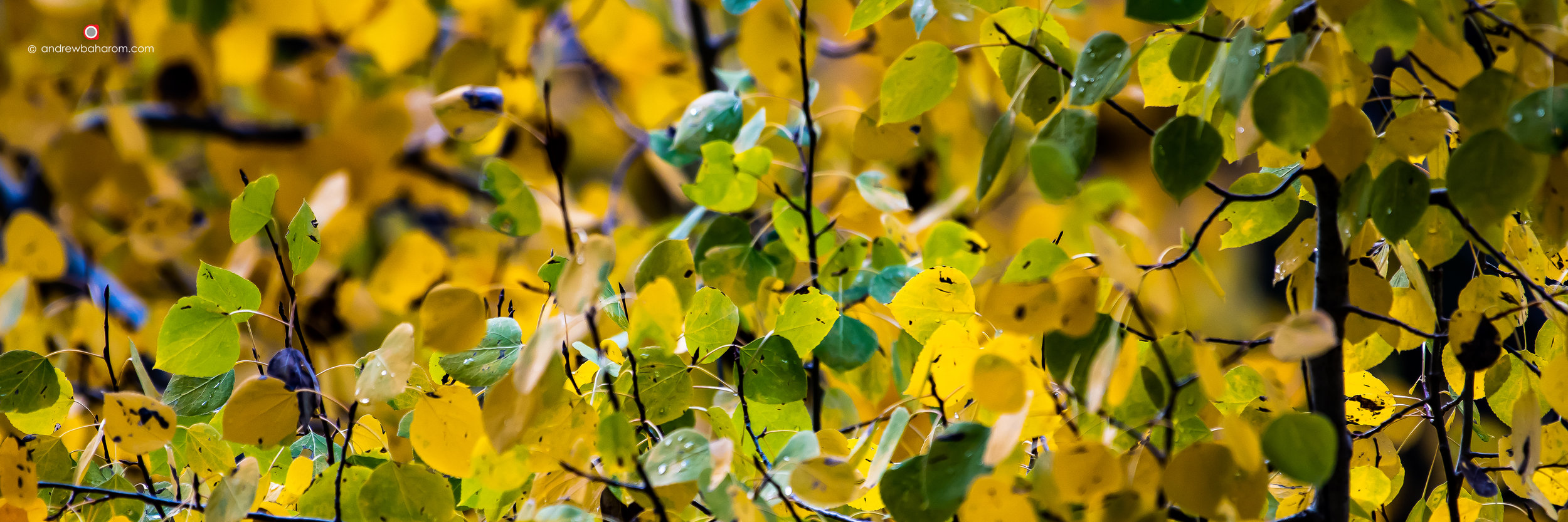 Yellow Leaves.jpg