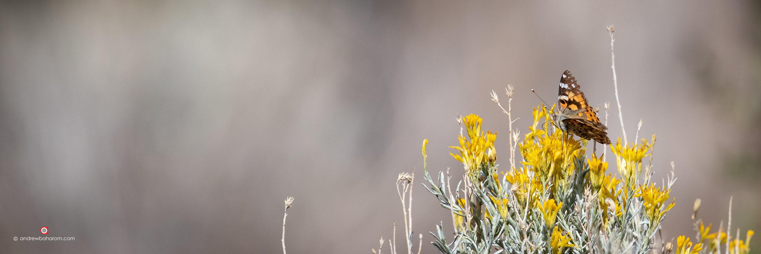 Butterly on Lemon Yellow Flowers.jpg