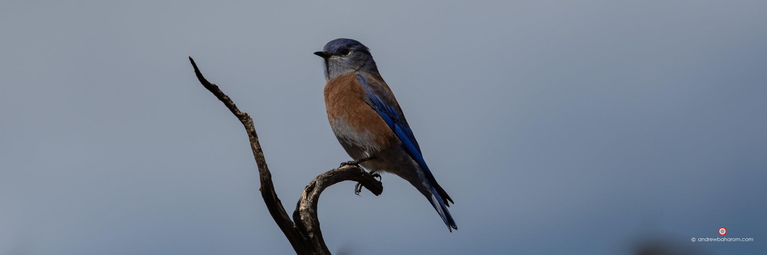 Blue & Brown Bird.jpg