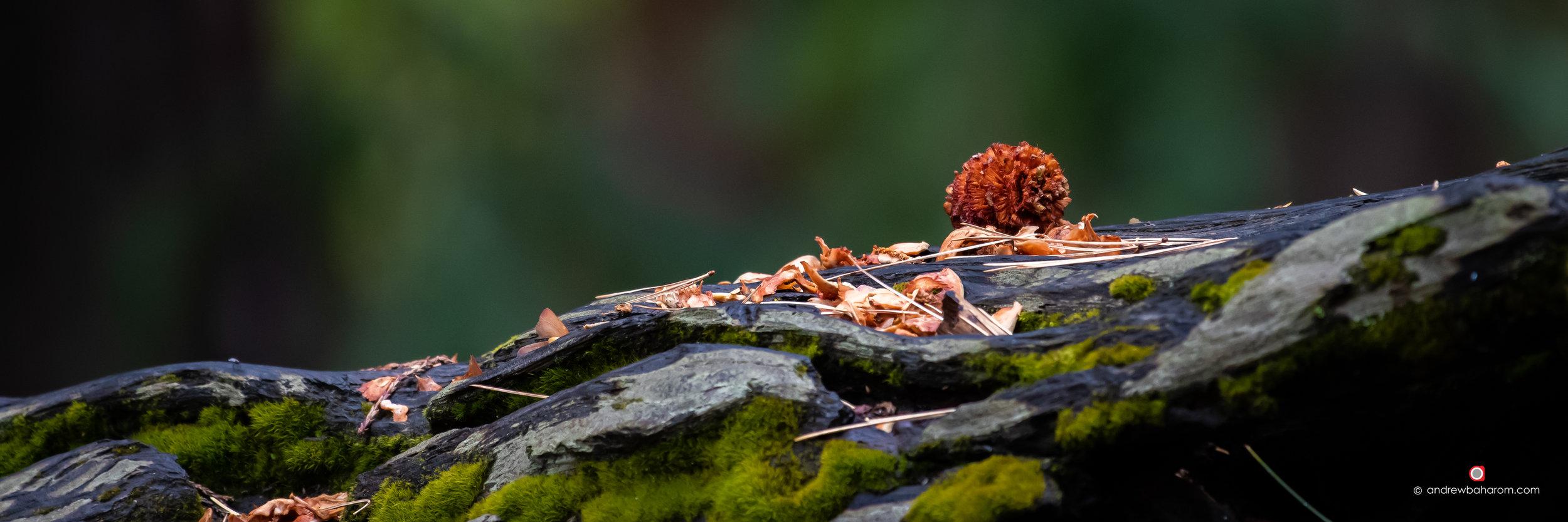 Weathered Pine Cone.jpg