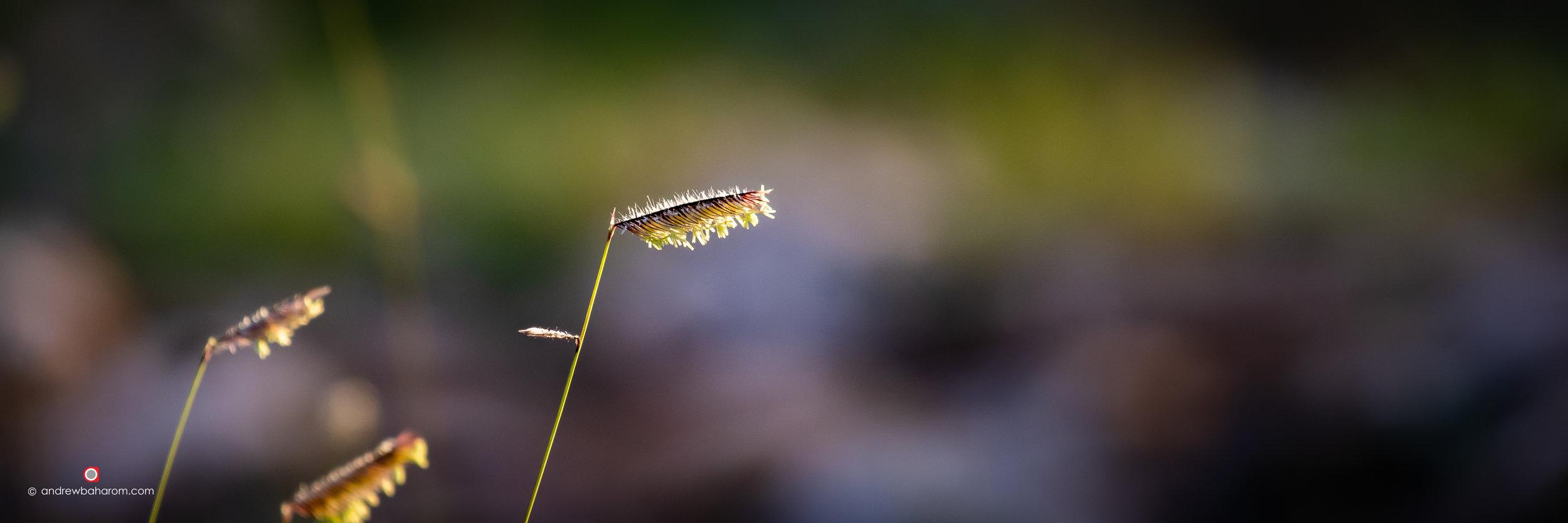 Wild Grass Seeds.jpg