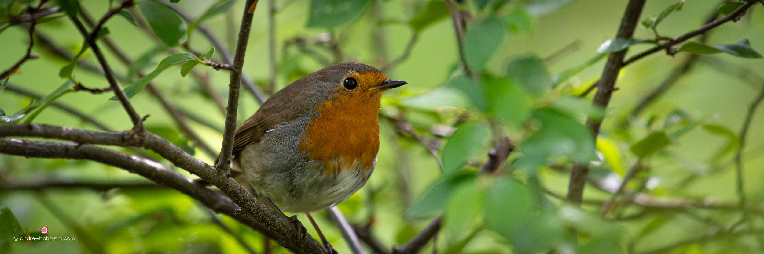 European Robin.jpg