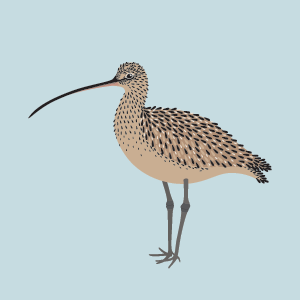 curlew-sq.png