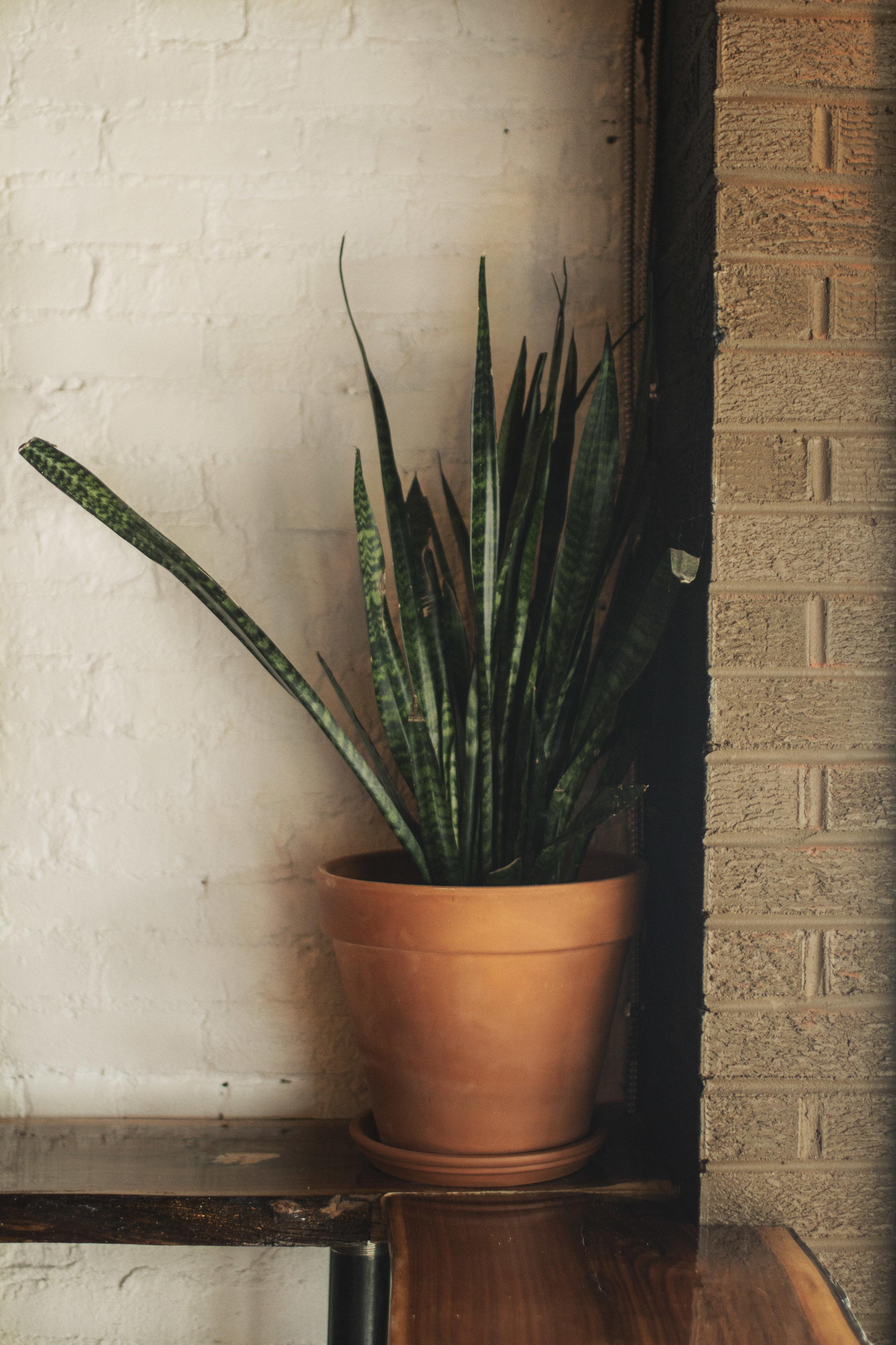 Snake plant 1.jpg