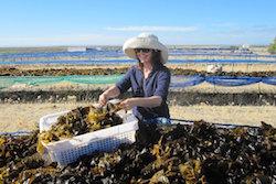 Seaweed harvesting OSEA style