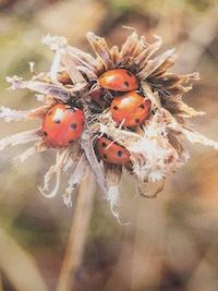7-Spot Ladybirds in a huddle