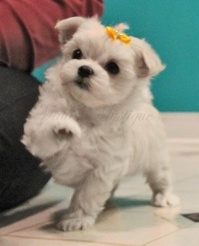 Cute_Maltese_puppy_B10.jpg