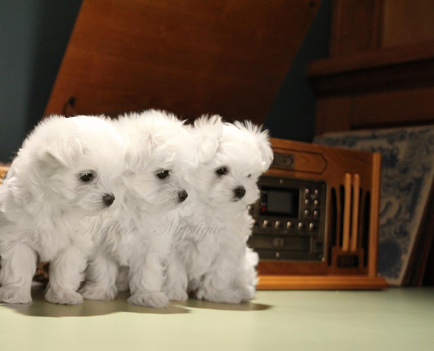 Maltese-Puppies-Rock.jpg