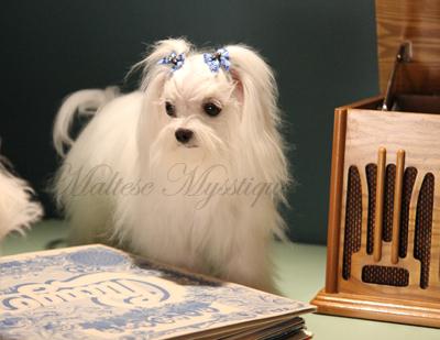 Maltese_dogs-rock-too.jpg