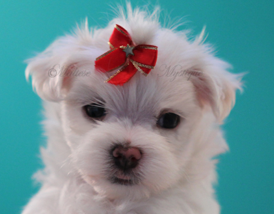 Maltese-Male Puppy-by-Misty 6.jpg