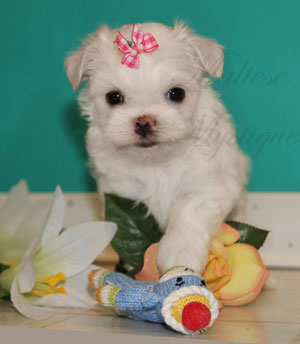 Tiny_Maltese_puppy_P2.jpg