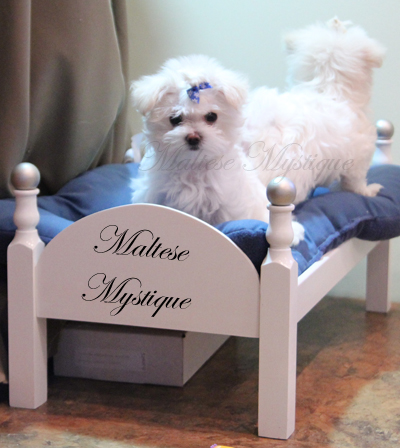 two_Maltese_Pups_ play 6.jpg