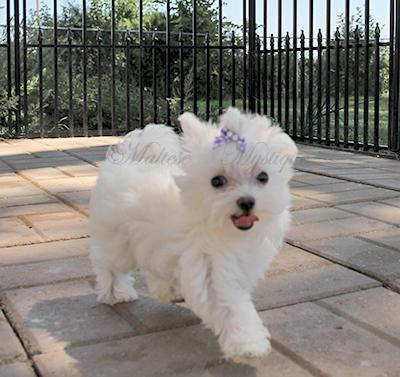 Maltese-pups-D18.jpg