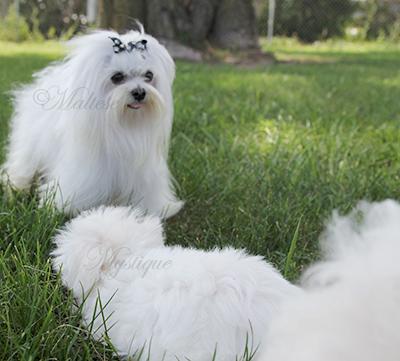 Maltese-Puppies-Brandy-E6.jpg