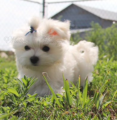 Maltese-Puppies-Brandy-E15.jpg