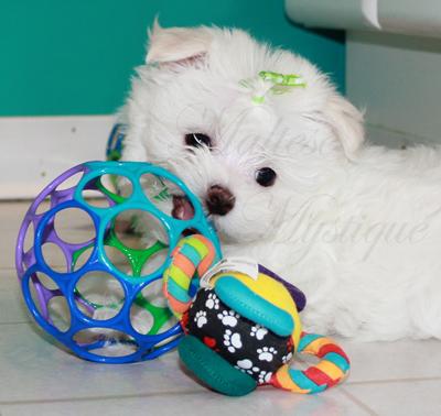 Registered-Maltese-puppies 19 copy.jpg