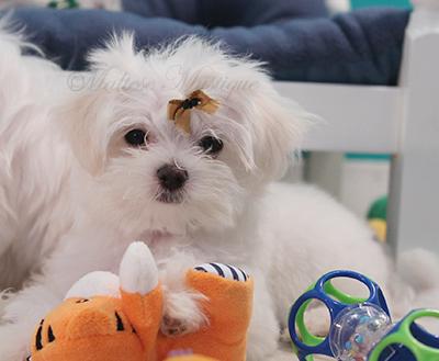 Maltese-Puppies-bi-Misty-29.jpg