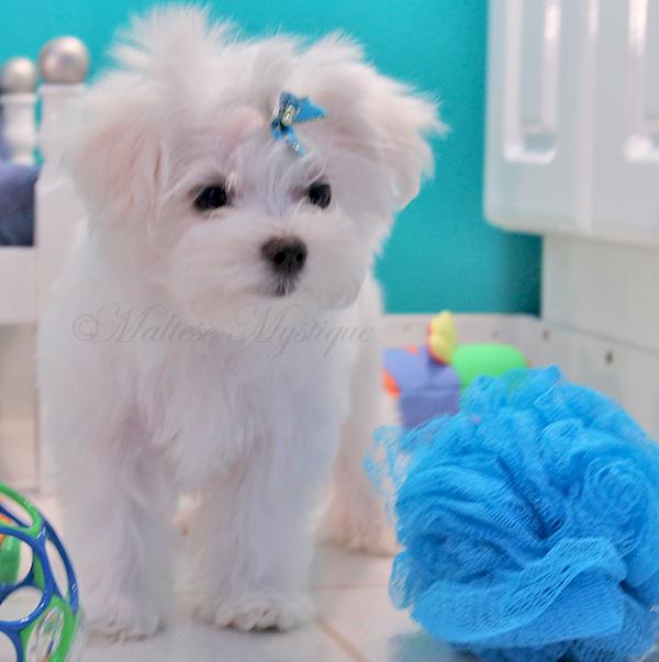 Maltese-Puppies-bi-Misty-9.jpg